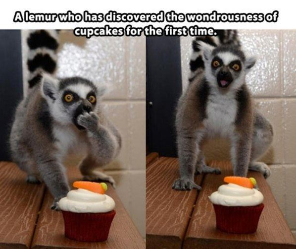 Lemur tries a cupcake