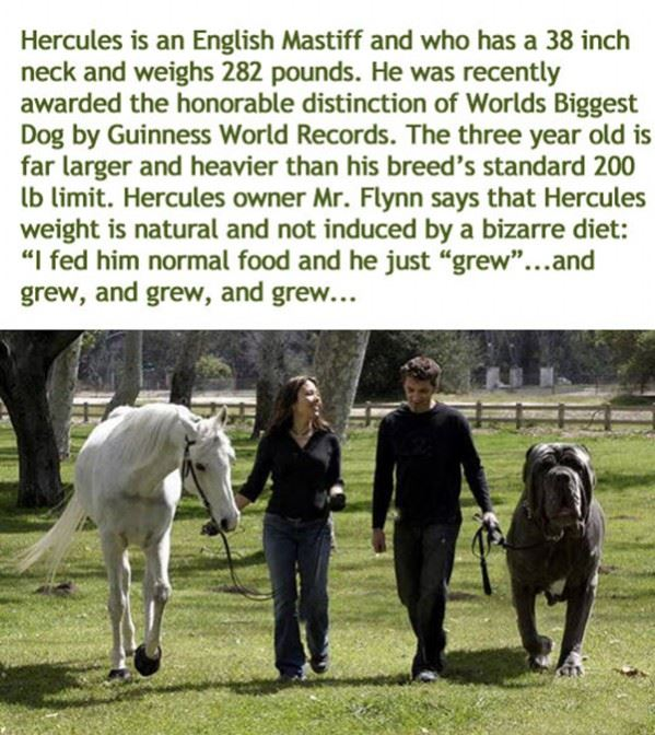 The worlds biggest dog