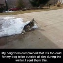 Never to cold for a husky