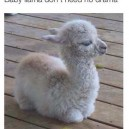 Baby lama don't need no drama