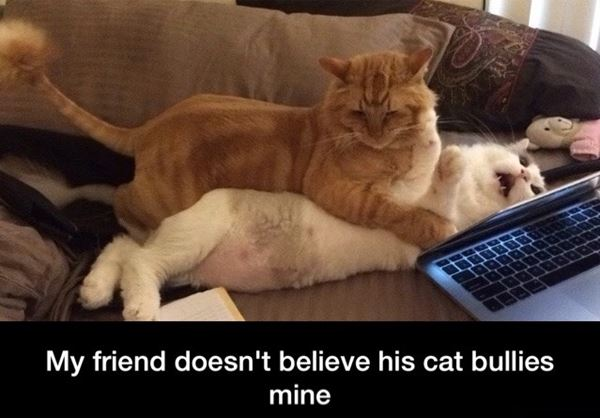 My friend doesn't believe his cat bullies mine