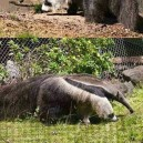 Panda or Anteaters