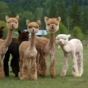 If you are feeling down, here is a group of shaved llamas