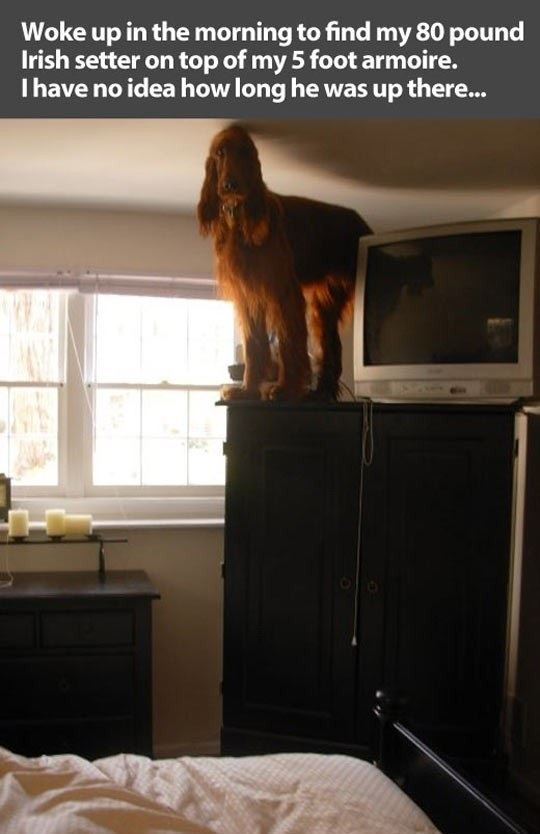 An Irish Setter or a Cat