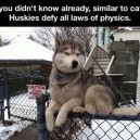 Huskies Are Special
