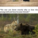 Wolf friends with a bear