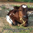 A cow with a heart