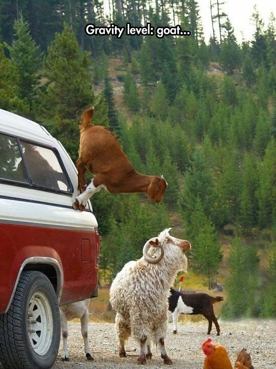 Goats doesn't know gravity