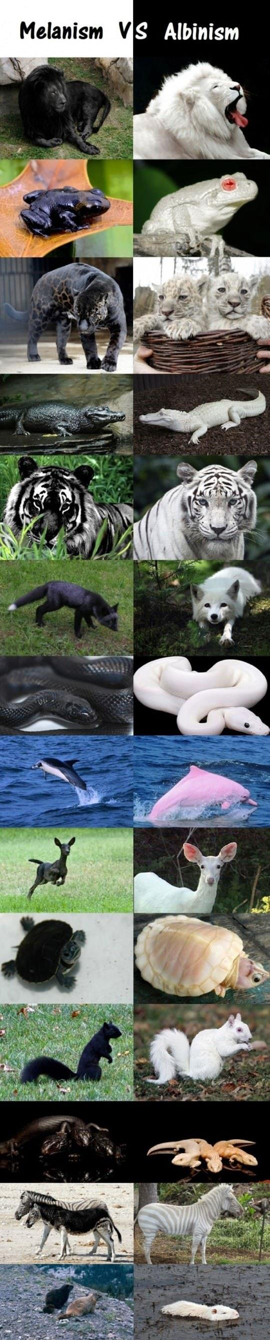 Melanism Vs. Albinism In The Animal Kingdom