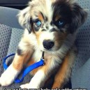 If You Cross A Husky And A Golden Retriever