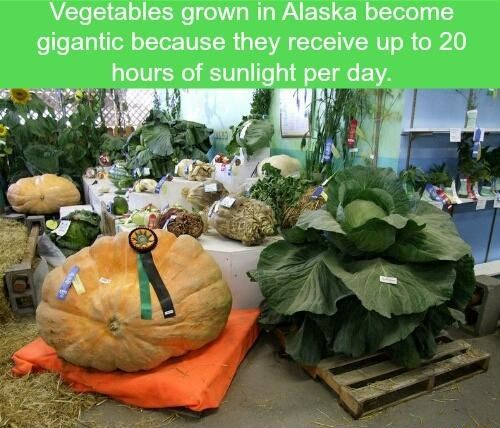 Vegetables grown in Alaska