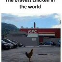 Bravest chicken in the world